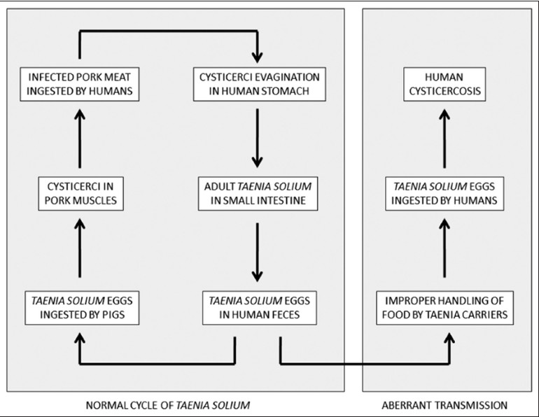 Figure 1: Diagram showing major steps in the normal and aberrant life cycle of Taenia solium (reproduced with permission from Del Brutto. Neurocysticercosis. Continuum (Minneap Minn) 2012;18:1392-1416